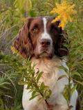 English Springer Spaniel in Field