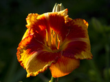 Asiatic Day-Lilly