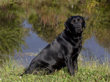 Black Labrador Retriever by Pond