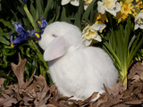 White Lop Rabbit with Daffodils