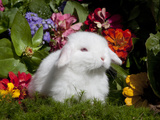 White Lop Rabbit