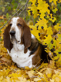 Basset Hound in Yellow Maple Leaves
