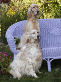 English Setters and Wicker Couch