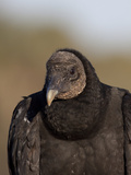 Black Vulture  Portrait