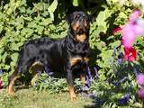 Roittweiler Dog