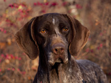 German Short Hair Pointer  Portrait