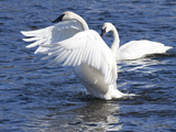 Trumpeter Swan Stretching Wings