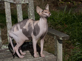Hairless Sphynix Cat (Pure Breed)