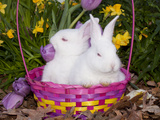 Two White New Zealand Juvenile Rabbits in Easter Basket