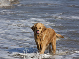 Golden Retriever in Pacific Ocean