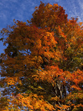 Sugar Maples in Autumn  Connecticut