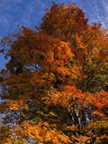 Sugar Maples in Autumn  Connecticut
