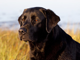 Black Labrador Retriever  Portrait