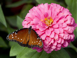 Queen Butterfly on Zinnia