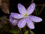 Hepatica (Wildflower) with Droplets of Rain