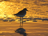 Shorebird at Sunset