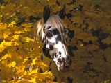 Appaloosa Portrait in Maple Leaves  Illinois