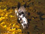 Appaloosa Portrait in Maple Leaves  Illinois