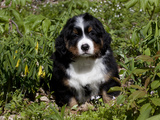 Burmese Mountain Dog Puppy in Wildflowers  Illinois