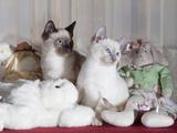 Siamese Cat Kittens W/Stuffed Animals