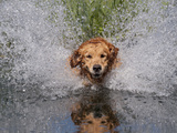 Golden Retriever Water Entry