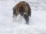 Grizzly Bear with Salmon  Alaska