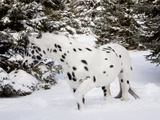 Appaloosa in Snow  Illinois