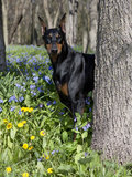 Black Doberman Peering from Behind Tree