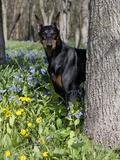 Black Doberman Peering from Behind Tree