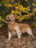 Golden Retriever in Autumn Leaves