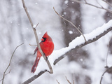 Cardinal in Snow