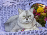 American Shorthair Cat on Lavender Wicker