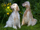 English Setters in Summer