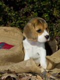 Beagle Hound Puppy