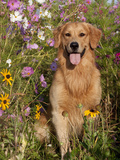 Golden Retriever in Cosmos Flowers