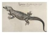 Iguana  1585