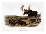 Moose Deer (Cervus Alces)