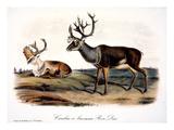 Caribou (Rangifer Caribou)