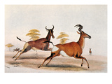 Sassaby and Hartebeest