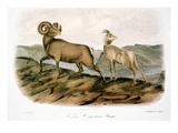 Rocky Mountain Sheep  1846