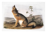Kit Fox (Vulpes Velox)