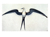 White: Frigate Bird
