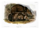 Grizzly Bear (Ursus Ferox)