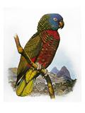 St Lucia Amazon Parrot