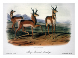 Audubon: Antelope  1846