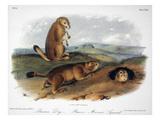 Audubon: Prairie Dog  1844