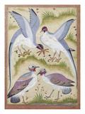 India: Pheasants