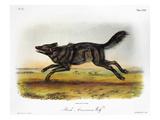 Black American Wolf