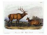 American Elk  1846