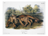 Audubon: The Cougar